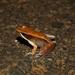 Mantidactylus melanopleura - Photo (c) devinedmonds, all rights reserved
