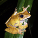 Boophis madagascariensis - Photo (c) leslieghana, all rights reserved, uploaded by Leslie Ruyle