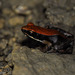 Brown Mantella - Photo (c) louisedjasper, all rights reserved