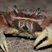 Land Crab - Photo (c) tengumaster89, all rights reserved