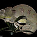 Oustalet&#x27;s Giant Chameleon - Photo (c) louisedjasper, all rights reserved