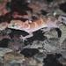 Texas Banded Gecko - Photo (c) rrommel, all rights reserved, uploaded by rrommel