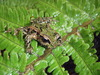 Archey's Frog - Photo (c) phil2, all rights reserved, uploaded by Phil Bishop