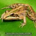 Ridged Frogs - Photo (c) danielaustin, all rights reserved, uploaded by danielaustin