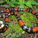 Uruguayan Coral Snake - Photo (c) arthur_abegg, all rights reserved