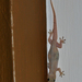 Common House Gecko - Photo (c) Dries Nys, some rights reserved (CC BY-NC-SA), uploaded by defd