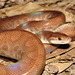 Brown Rainbow Boa - Photo (c) estebanalzate, all rights reserved