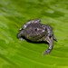 Colombian Plump Frog - Photo (c) estebanalzate, all rights reserved, uploaded by Esteban Alzate Basto