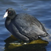 American Coot - Photo (c) Jerry Cannon, all rights reserved