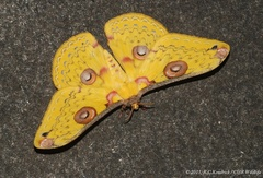 Butterflies and Moths - Photo (c) Roger C. Kendrick, all rights reserved, uploaded by Roger Kendrick