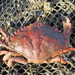 Red Rock Crab - Photo (c) invertboy, all rights reserved, uploaded by Chris Brown