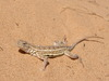 Northern Earless Lizard - Photo (c) danjleavitt, all rights reserved, uploaded by Dan Leavitt