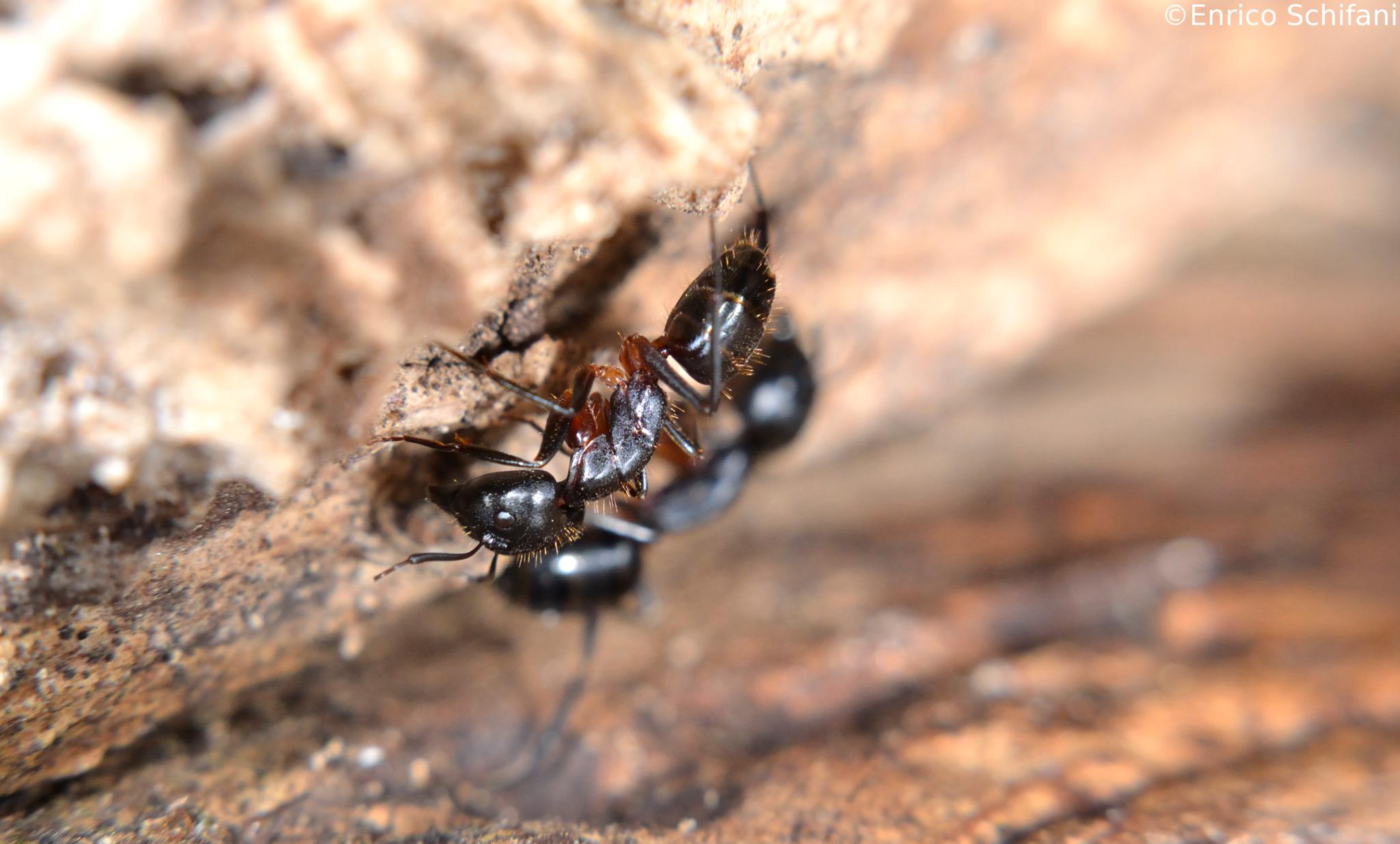 Image of Camponotus barbaricus