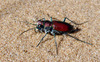 Big Sand Tiger Beetle - Photo (c) danjleavitt, all rights reserved, uploaded by Dan Leavitt
