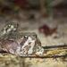 Common rain frog - Photo (c) rrommel, all rights reserved, uploaded by rrommel