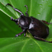 Siamese Rhinoceros Beetle - Photo (c) Dries Nys, some rights reserved (CC BY-NC-SA), uploaded by defd