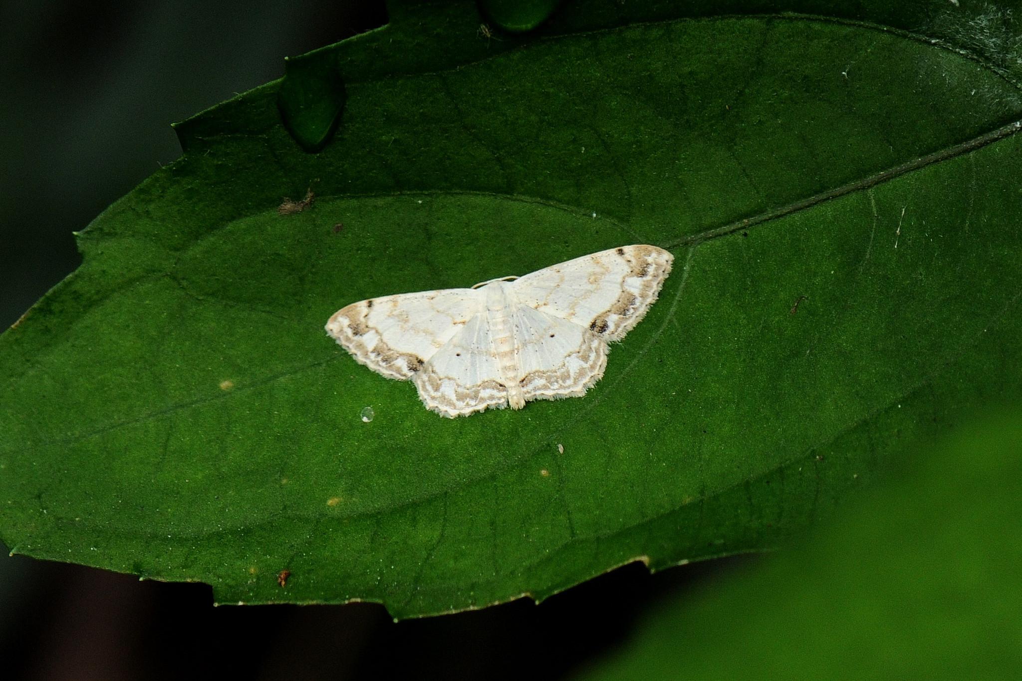 Image of Scopula propinquaria