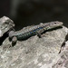 River Kura Lizard - Photo (c) eduardgaloyan, all rights reserved, uploaded by Eduard Galoyan
