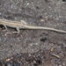 Snake-eyed Lizard - Photo (c) eduardgaloyan, all rights reserved, uploaded by Eduard Galoyan