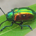 Dogbane Leaf Beetle - Photo (c) Larry Clarfeld, all rights reserved