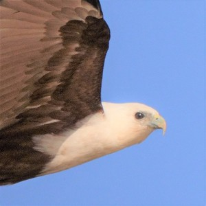 wingspanner