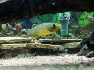 nativefishnic