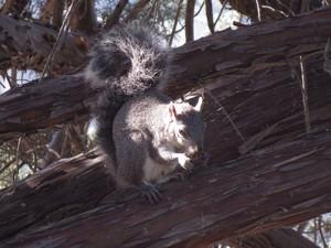 graysquirrel