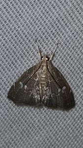 kidneymoth
