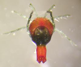 parasitengona