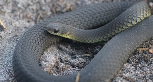 snakesrcool
