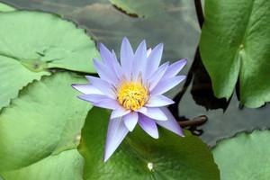 blue_lotus