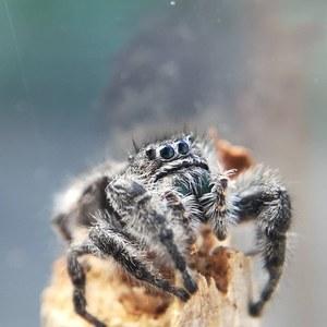 jumping_arachnids