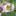 tanacitafolia