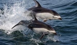 pacificwhitesideddolphin