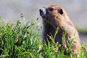 marmot-mot