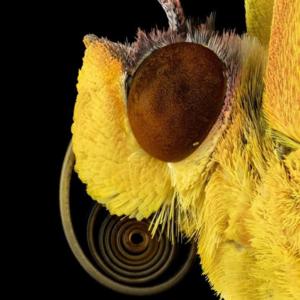 karylycaenidae