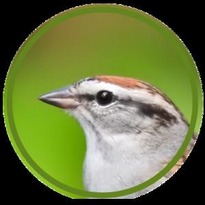 chipperbirders