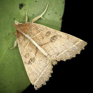 renebel_moth