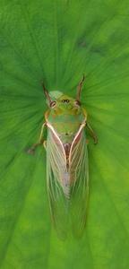 circad-ian_cicada