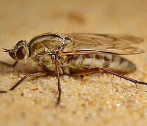 bushfly