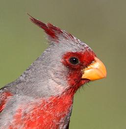 cardinalisq