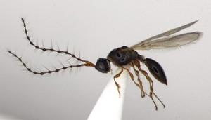 trichopria