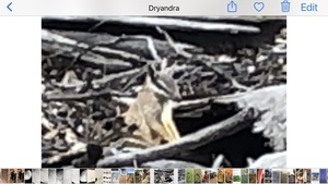 dryandra726