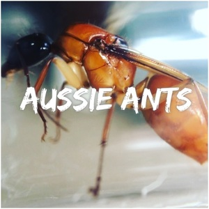 aussie_ants