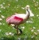 pinkspoonbill