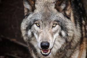 wolf1976