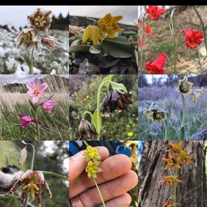 justinaceae