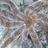predomalpha