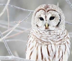 owl_khm