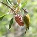 Carpintero Corona Gris - Photo (c) adel-fridus, todos los derechos reservados